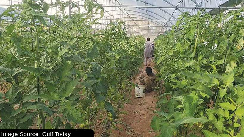 see-how-this-sharjah-family-focuses-on-local-produce