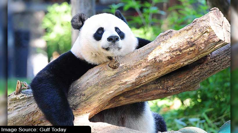 6-month-old-baby-panda-refusing-to-leave-its-caretaker-goes-viral