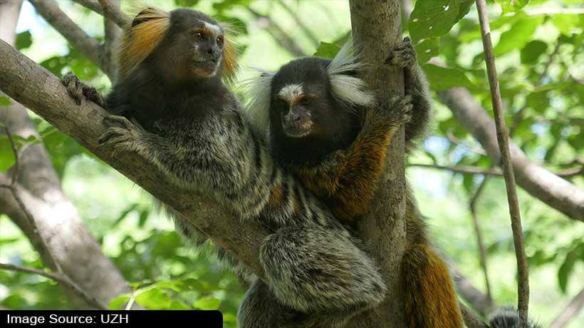 marmoset-monkeys-perceive-conversations-just-like-humans-says-studies