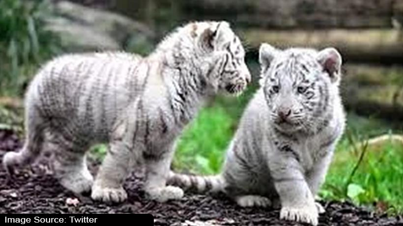 covid-19-kills-two-white-tiger-cubs-in-pakistan's-lahore
