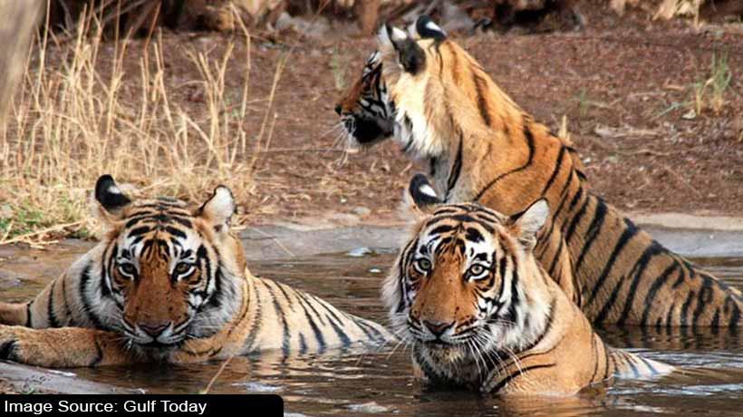 india:-tiger-attacks-three-in-bihar-couple-dies