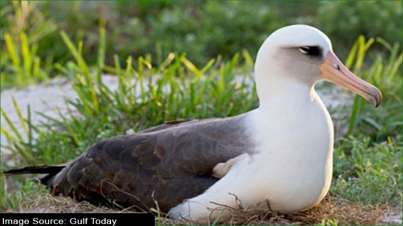 world's-oldest-wild-bird-hatches-new-chick