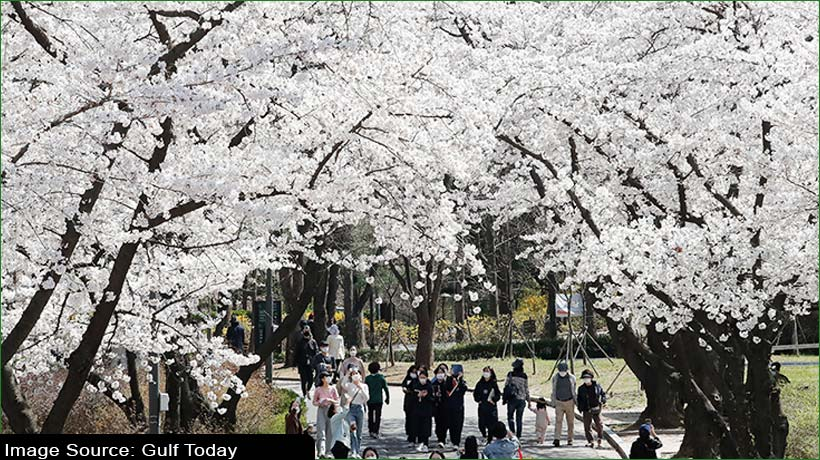 climate-change-blamed-for-japan's-earliest-cherry-bloom