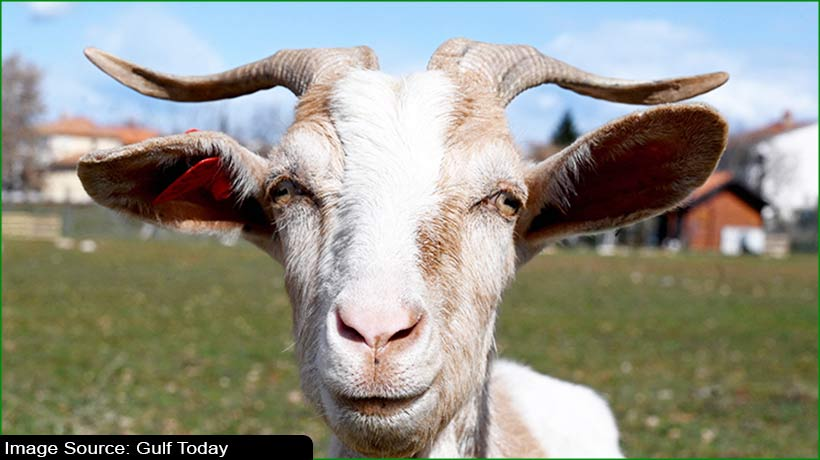 croatia-in-an-effort-to-save-its-indigenous-istrian-goat