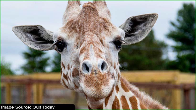 new-york-zoo-euthanises-the-youtube-star-giraffe-'april'