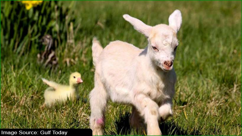 cuteness-overloaded-at-animal-center:-baby-emu-goat-and-goose-become-pals