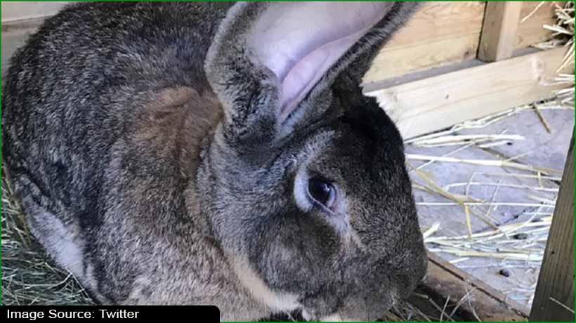 world's-largest-rabbit-stolen-in-uk-owner-offers-usd1.3k-reward