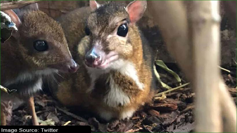 bristol-zoo-welcomes-second-mouse-deer-in-a-decade
