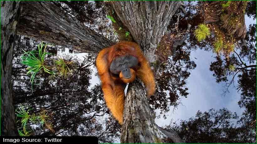 optical-illusion-of-orangutan