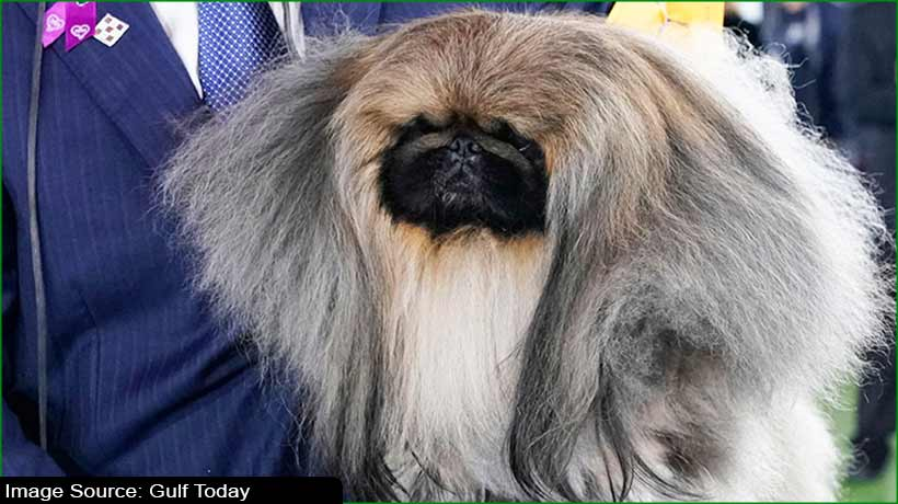 fuzzy-pekingese-steals-the-westminster-kennel-club-dog-show