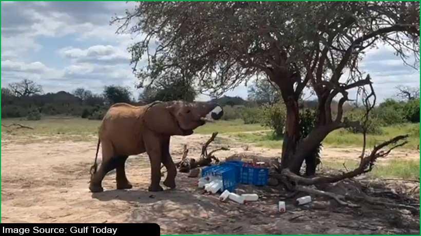 netizens-in-awe-as-kenyan-elephant-tries-to-steal-milk