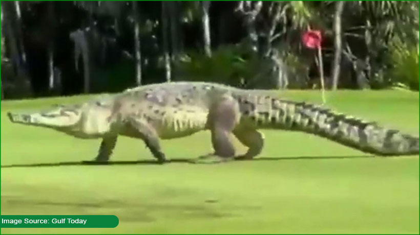 giant-15-foot-crocodile-appears-on-a-mexico-golf-course