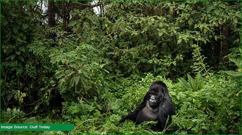 chimpanzees-kill-gorillas-in-gabon-over-food