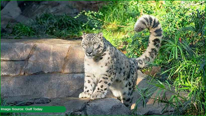 leopard-contracts-covid-19-in-san-diego-zoo