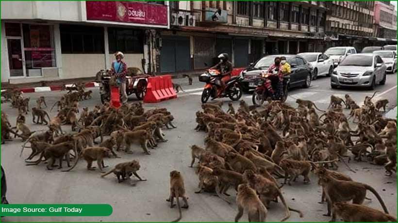 gangs-of-monkey-battle-in-amid-traffic-in-thailand