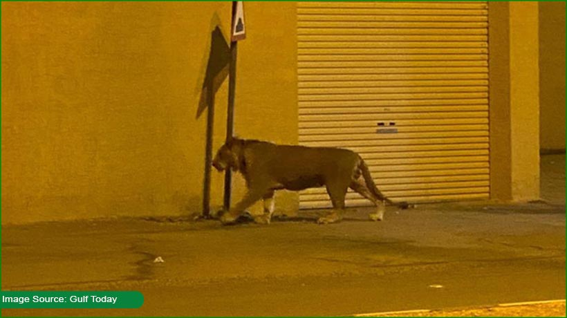 lion-seen-wandering-on-streets-of-saudi-arabia!