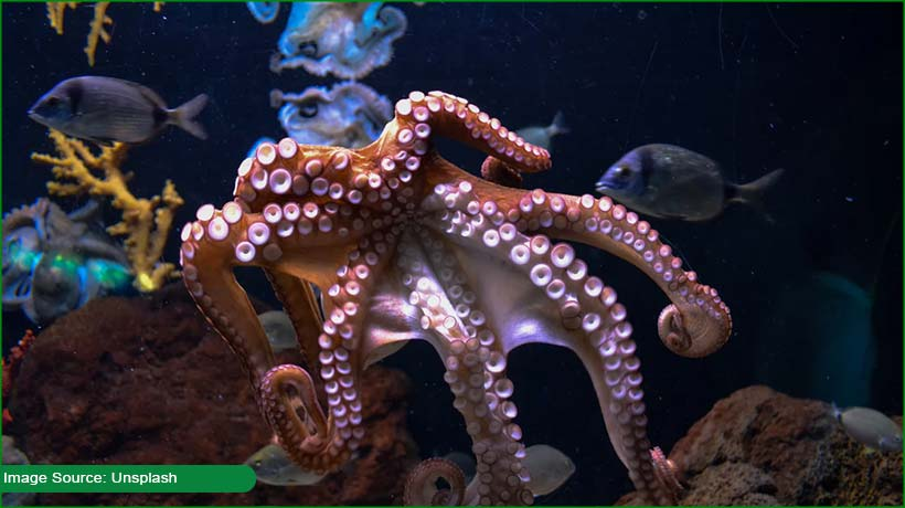 female-octopuses-seen-throwing-stuff-at-males
