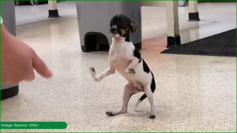 Puppy born with upside-down paws learns to walk after surgery