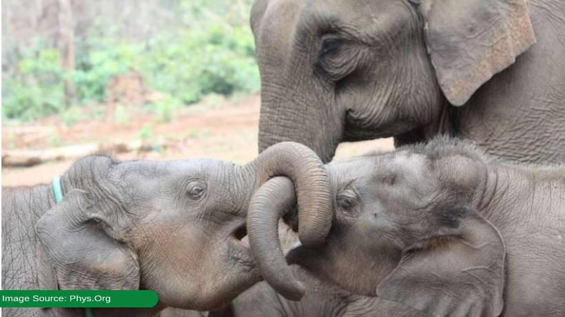 elephants-survive-longer-if-they-have-older-siblings-especially-sisters