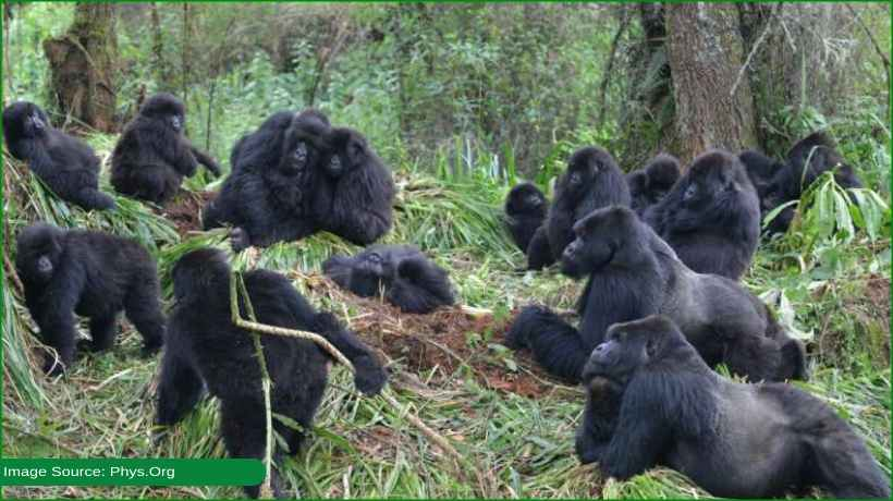 sick-gorillas-can-transmit-illnesses-to-others:-study