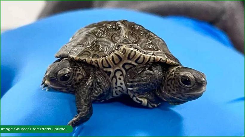 two-headed-turtle-leaves-netizens-amused