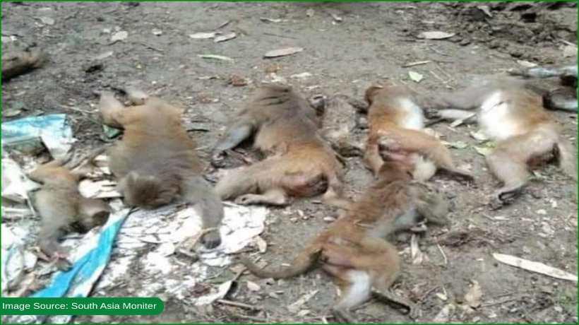 monkeys-being-poisoned-in-bangladesh
