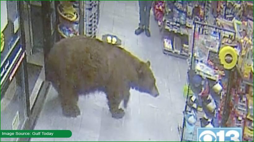 bear-who-snacked-in-shops-shot-dead