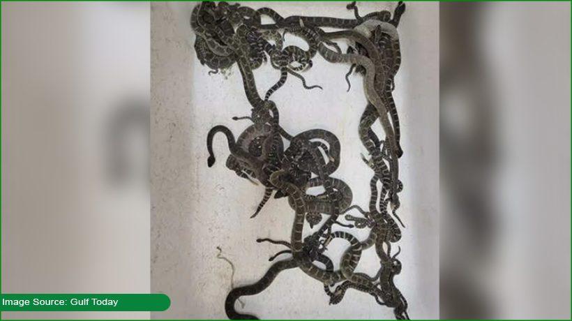 90-rattlesnakes-found-in-california-basement